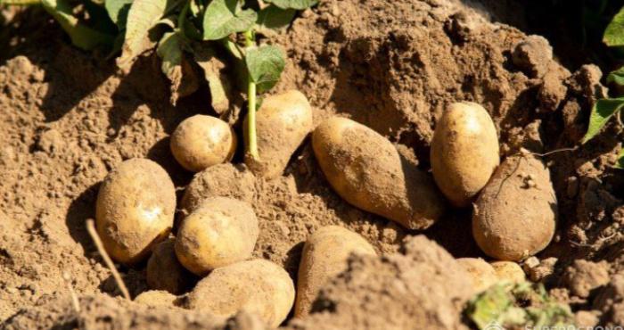 У жительки Цегова вкрали картоплю з городу