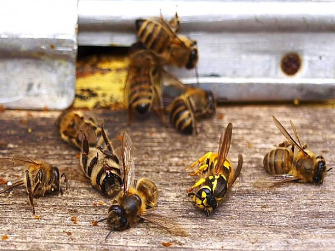 У селі Мирне Горохівського району у пасічників гинуть бджоли.