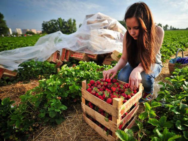 Горохівські садівники обіцяють зарплати не менші, ніж у Польщі