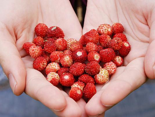 Ольвія дає солодкі ягоди по 40 г кожна