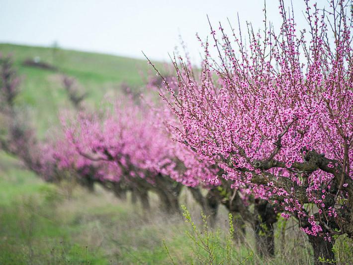 Персиковий сад. Фото ілюстративне
