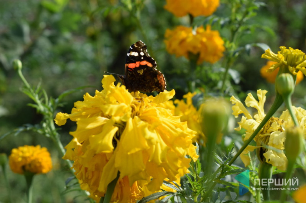Метелики тішаться чорнобривцями