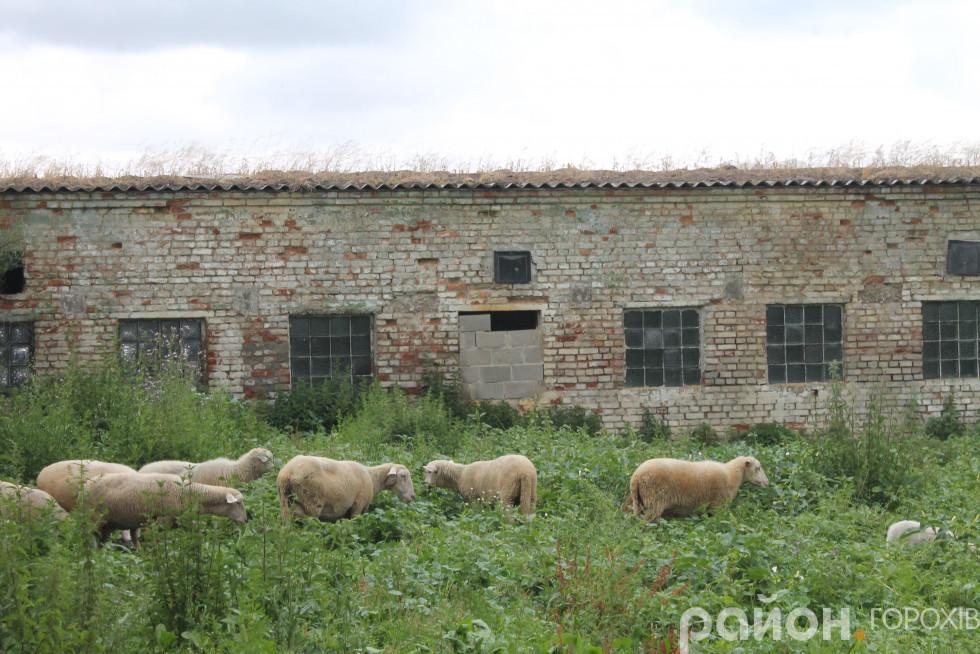 Вівці на прогулянці